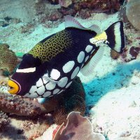 Clown triggerfish © Bernd Nies