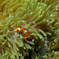 Three clownfish © Bernd Nies
