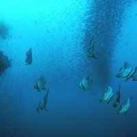 Bat fishes