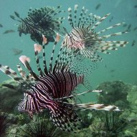 Lionfishes © Bernd Nies