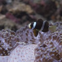Young Anemone Fish