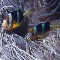 Anemone fishes