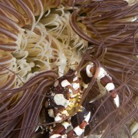 Tube Anemone Swimming Crab