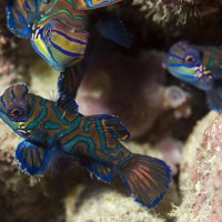 Three Mandarin Fish