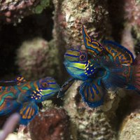Two Mandarin Fish