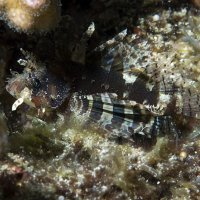 Young Lionfish